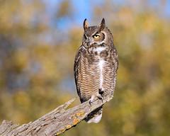 Great Horned Owl (wlb393) Tags: greathornedowl birdsofprey livermore bubovirginianus