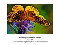 "Butterfly on the Bull Thistle • <a style=""font-size:0.8em;"" href=""http://www.flickr.com/photos/124378531@N04/48880608592/"" target=""_blank"">View on Flickr</a>"