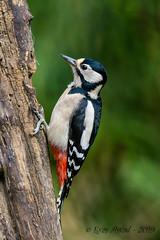 08102019-sDSC_7616 (Eyas Awad) Tags: eyasawad bird birds birdwatching wildlife nature nikon picchiorossomaggiore dendrocoposmajor