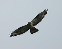 Honey-Buzzard   (Pernis aprivorus) (minvallaa) Tags: buzzard honey raptor hunting rare migrant male forest farmland