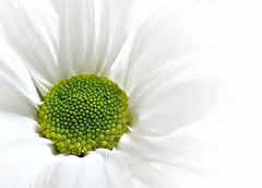 Looking close on..... Friday!   White Background (Ree Smith) Tags: lookingcloseonfriday whitebackground flower chrysanthemum closeup