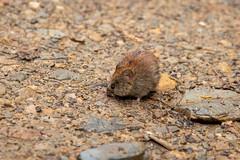 IMG_6130 (d_propp) Tags: jaspernationalpark rodent pika