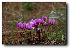 _MG_9028 (christine chagia) Tags: cyclamens κυκλάμινα αγριολουλουδα wildflowers