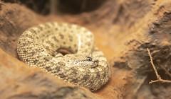 Mohave Desert Sidewinder - Szarvas csörgőkígyó (Crotalus cerastes) (The Cuman) Tags: nikon nikond750 tamron tamronsp2470mmf28divcusda007n werner animal animalplanet nature zoo reptile snake mohave desert sidewinder herp