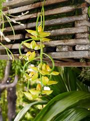 Gongora galeata var. luteola species orchid (nolehace) Tags: gongora galeata var luteola species orchid 919 fragrant plant flower bloom fall nolehace sanfrancisco fz1000