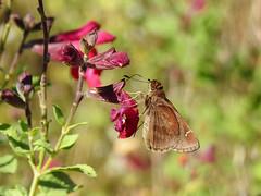 Clouded Skipper - Lerema accius (annette.allor) Tags: leremaaccius cloudedskipper butterfly skipper garden