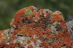Lichen (rlt64) Tags: lichen plants