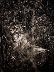 The eye ... (Thierry GASSELIN) Tags: lion southafrica afriquedusud eye oeil