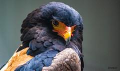 Bateleur eagle (turned) (ttounces) Tags: eagle ttounces jan bateleur african