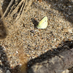 Dainty Sulphur_5683_00001-001 (Henryr10) Tags: ottoarmlederpark hamiltoncountyparkdistrict cincinnati ottoarmledermemorialpark armlederpark littlemiamiriver greatparksofhamiltoncounty usa ohio dainty sulphur nathalis iole daintysulphur nathalisiole coliadinae pieridae bmna butterfly small yellow daintysulfur butterflies papillon schmetterling mariposa farfalla borboleta vlinder flunnerk kapelleke
