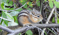 Least Chipmunk (pamfromcalgary) Tags: kananaskis pamhawkes rodent animal leastchipmunk