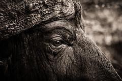 The eye ... (Thierry GASSELIN) Tags: buffle buffalo detail southafrica afriquedusud oeil eye