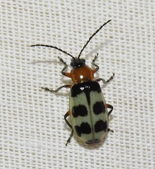 Leaf beetle (Bug Eric) Tags: animals wildlife nature outdoors insects bugs beetles leafbeetles chrysomelidae coleoptera coloradosprings colorado usa paranapiacabatricincta northamerica september142019