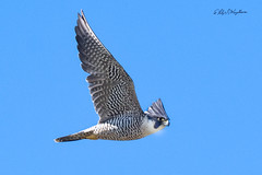 Peregrine Falcon in Flight -1 (Philip Magallanes) Tags: birds peregrinefalcon animals bird wildlife