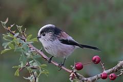 long tailed tit (DODO 1959) Tags: wildlife longtailedtit avian birds animal outdoor nature fauna perch wales carmarthenshire wwt llanelli canon 7dmk2 100400mmmk2