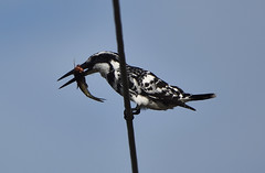 pied kingfisher with kill (praveen.ap) Tags: piedkingfisher kaliveli kalivelilake
