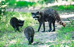 "The ""Mom"" Look (Alice_McCAnn) Tags: raccoon wildlife outside outdoors tulsa tulsaoklahoma oxleynaturecenter oxley nature animal oklahoma wildlifephotography naturephotography naturebynikon ngysaex"