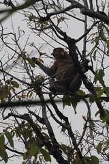 Proboscis Monkey (Jim Nicholson) Tags: malaysia my borneo sarawak nikon d850 nikond850 nikkor70200mmf28