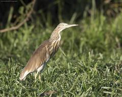 Scuacco Heron, Ardeola ralloides, Msuna Fishing resort, Zambezi River, Zimbabwe (JeremySmithPhotography. Thanks for 10 Million hits) Tags: ardeolaralloides squaccoheron zimbabwe zambeziriver zimbabwebirding zimbabweanbirds zambezi zimbabwesafari birds birdingzimbabwe birdsofzimbabwe birdingsafari beauty jeremysmithphotographycouk jeremysmithphotography jeremysmith msunafishingresort msunaisland msuna
