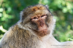 Barbary Macaque (My Planet Experience) Tags: barbary macaque magot macacasylvanus monkey mammal primate animal nature natural wild wildlife nopeople day color portrait outdoors endangered species iucn redlist myplanetexperience wwwmyplanetexperiencecom