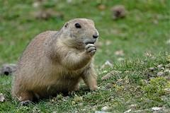 Snoop prairie dog (Paul wrights reserved) Tags: prairiedog prairiedogs mamm mammal mammals mc