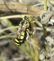 Sand wasp with prey (Bug Eric) Tags: animals wildlife nature outdoors insects bugs wasps solitary sandwasps crabronidae hymenoptera female coloradosprings colorado usa glenostictia northamerica september272019