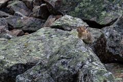 IMG_6211 (d_propp) Tags: jaspernationalpark rodent pika