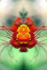 Abstract - Beyond your Sacred Geometry by iezalel williams using Pics Art Mirror effects (iezalel7williams) Tags: sacredgeometry beyond beautiful flower green red symetry sacred yellow orange high vibration energy love light lovely abstract happylife heart nice photo beauty picsart byiezalelwilliams macro
