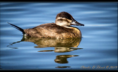 Ruddy Duck (ctofcsco) Tags: 20x 2x 7d 7dclassic 7dmark1 7dmarki canon colorado digital ef2x ef2xii eos eos7d 2017 2019 birds co esplora explore lake montevista nature northamerica photo photograph pic picture water wildlife explored extender pretty renown supertelephoto teleconverter telephoto unitedstates usa