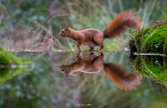 Squirrel reflection (Martijn van Sabben) Tags: dieren wonder amazinganimals d500 nikond500 fotografie natuurfotografie natuur beauty reflection free awesome awesomecapture squirrel animal wildelife nature nikon zoomnl nationalgeographic ngc