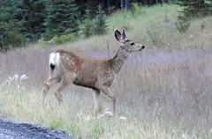 Mule deer (pamfromcalgary) Tags: kananaskis pamhawkes animal animals deer muledeer nature