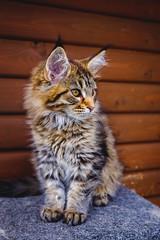 Maine Coon Kitten (Mick _G) Tags: maine coon cats cat fuji fujifilm xt1 fx 1855