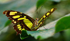DSC09579 (Argstatter) Tags: malachitfalter falter schmetterling butterfly makro insekt bokeh gelb braun tagfalter malachite