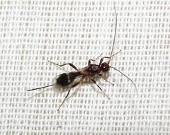 Braconid wasp (Bug Eric) Tags: animals wildlife nature outdoors insects bugs wasps braconidwasps braconidae hymenoptera female coloradosprings colorado usa spathius northamerica september112019