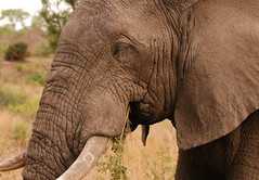 Who Said Wrinkles Aren't Beautiful? (DeniseKImages) Tags: wildlife africa grass southafrica nature wild animal animals wildanimals wildanimal elephant elephants tusk tusks bigfive