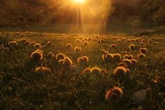 Erntezeit der Edelkastanie (Mariandl48) Tags: maronen edelkastanien maroni sonnenstrahlen sonnenaufgang wiese garten sommersgut wenigzell steiermark austria