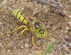 Sand wasp (Bug Eric) Tags: animals wildlife nature outdoors insects bugs wasps sandwasps crabronidae female hymenoptera coloradosprings colorado usa glenostictia northamerica august242019