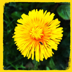 The Flower and Fly (Julie (thanks for 9 million views)) Tags: 100xthe2019edition 100x2019 image85100 flower dandelion fly diptera hfdf squareformat hipstamaticapp nature fauna flora ireland irish wexford iphone6s