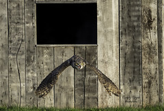 Great Horned Owl (wrpryde) Tags: nikond5 nikon200mm nature naturaleza nikon ontario owl raptor