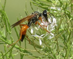 Great Golden Digger wasp (Bug Eric) Tags: animals wildlife nature outdoors insects bugs wasps solitary sphecidae hymenoptera greatgoldendigger sphexichneumoneus chicobasinranch colorado usa northamerica august242019