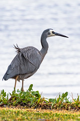 White Faced-Heron at the waters edge (Merrillie) Tags: wildllife nature australia birds day weather newsouthwales animal earlymorning whitefacedheron wild wet swansea daytime swanseachannel bird heron rainy animals fauna raining swanseabaybeach nsw