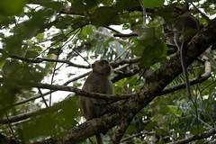 Long-tailed Macaques (Jim Nicholson) Tags: malaysia my borneo sarawak nikon d850 nikond850 nikkor70200mmf28