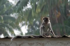 Long-tailed Macaque (Jim Nicholson) Tags: malaysia my borneo sarawak nikon d850 nikond850 nikkor70200mmf28