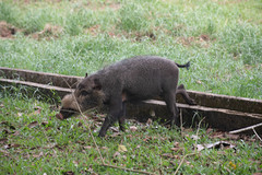Wild Pig (Jim Nicholson) Tags: malaysia my borneo sarawak nikon d850 nikond850 nikkor70200mmf28