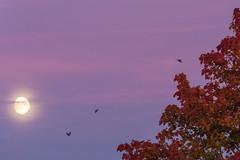 Nightfall (skewedperception) Tags: landscape sky summer autumn moon night evening tree fall munich germany birds purple leaves nature