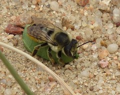 Leafcutter bee (Bug Eric) Tags: animals wildlife nature outdoors insects bugs bees leafcutterbee female megachilidae hymenoptera coloradosprings colorado usa solitary megachile northamerica august242019