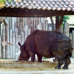 rhinoceros indianrhinoceros rinoceronte... (Photo: pedrosimoes7 on Flickr)