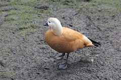 Ruostesorsa 1 (sohvimus) Tags: ruostesorsa lintu bird tadornaferruginea oiseau martinmere pájaro lind pták vogel fågel uccello roestgans casarca rostgans rostand ruddyshelduck