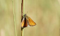 (passionpapillon) Tags: macro insecte papillon butterfly hespérie bokeh color passionpapillon 2019
