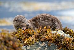 Otter (Chas Moonie-Wild Photography) Tags: otter wild scotland mammal loch sea fish